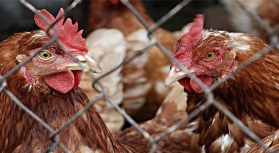 Na zdjęciu kury.