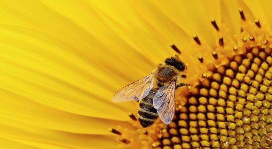 grafika- pszczoła
