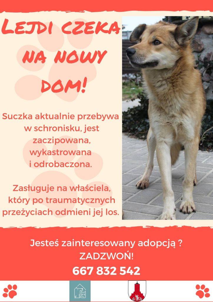 Plakat - pies Lejdi czeka na nowy dom